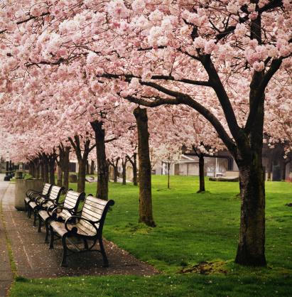 Cerejeiras no Japão (Foto: Getty Images)